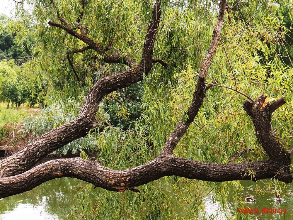 old and interesting willow