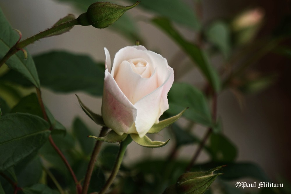 a beautiful white rose for the chosen one