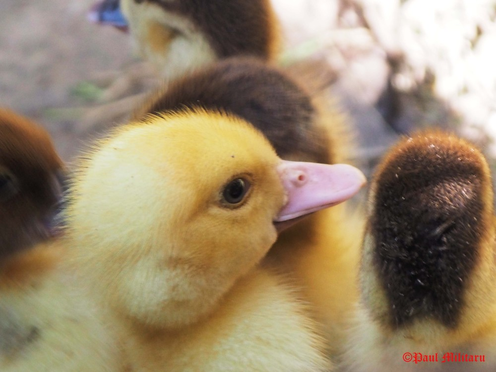profile star - yellow baby duck