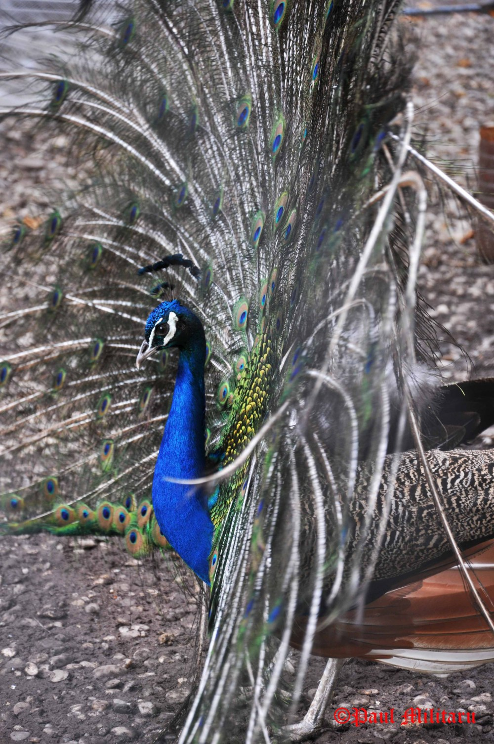 the beauty of a peacock