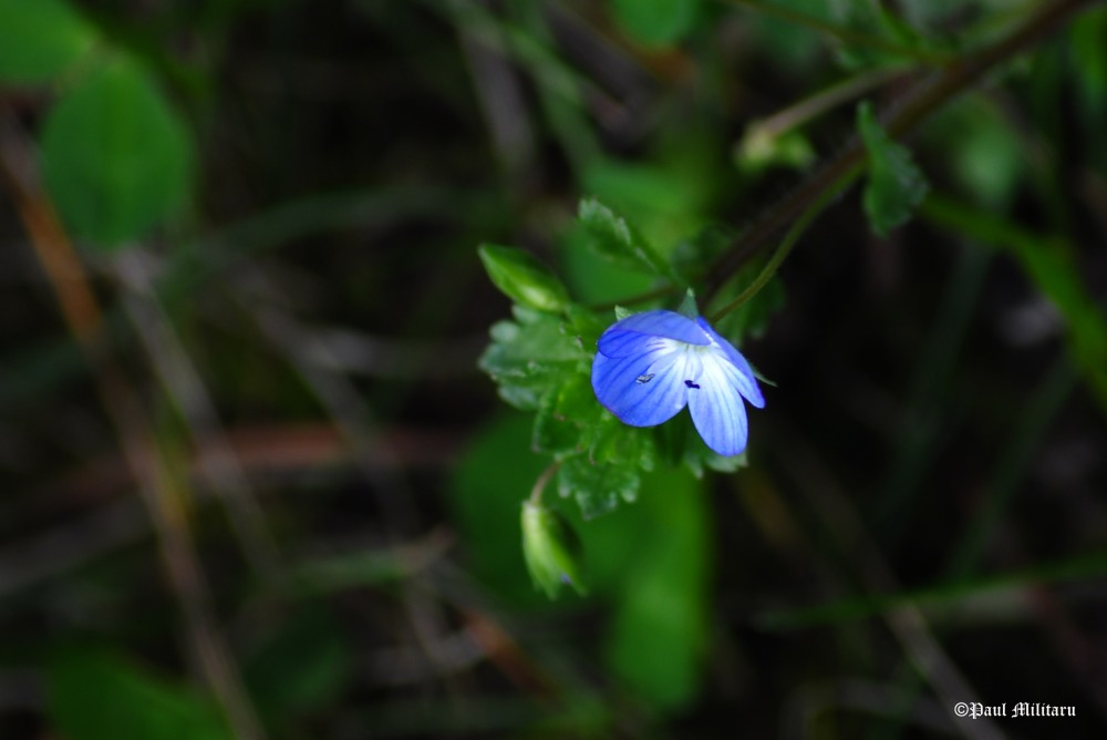 a-small-and-beautiful-blue-flower