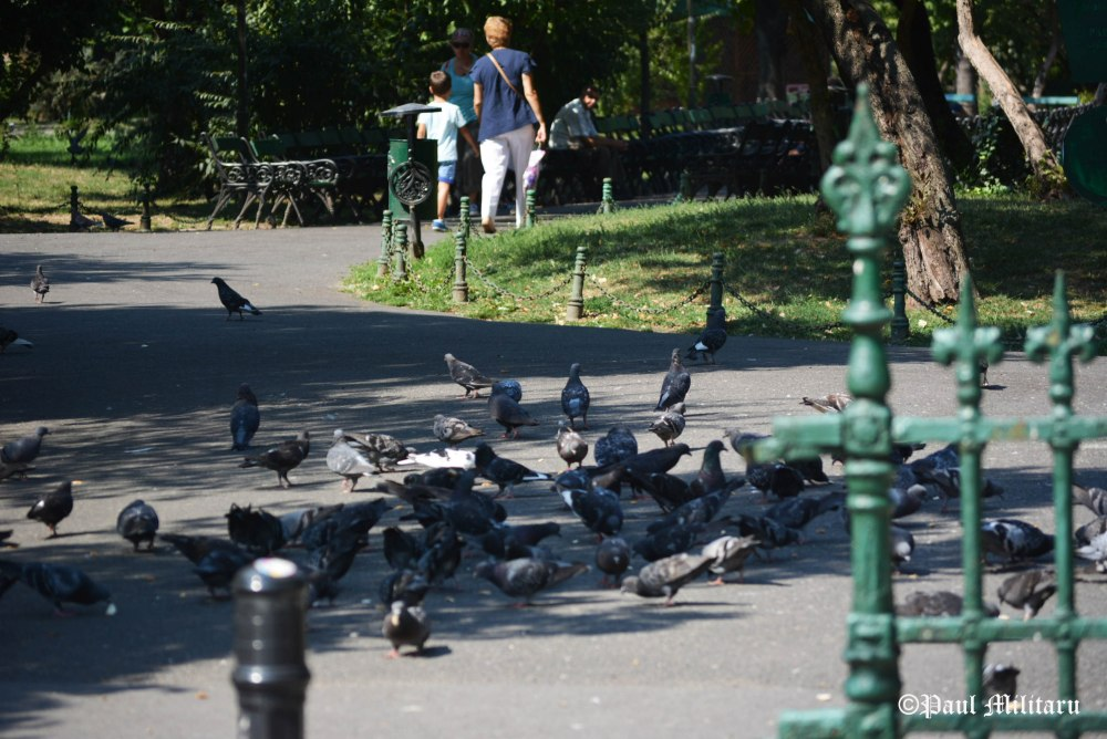 pigeons-table