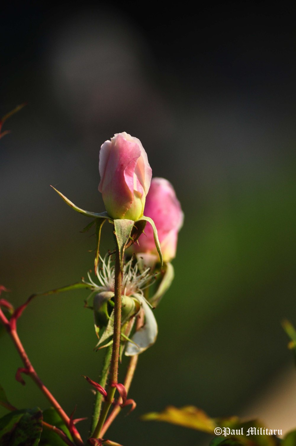 pink-bud-roses
