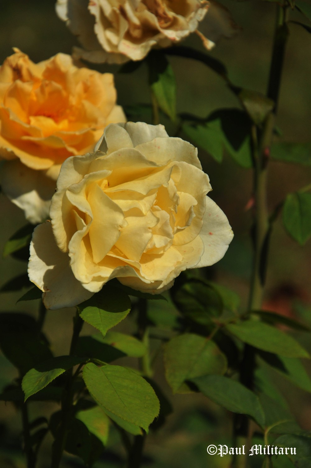 roses-lifecycle-youth-old-age-and-death