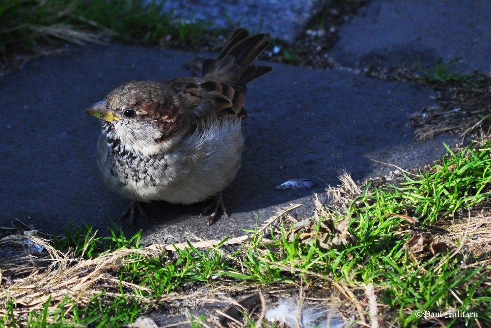 sparrow-in-the-shade