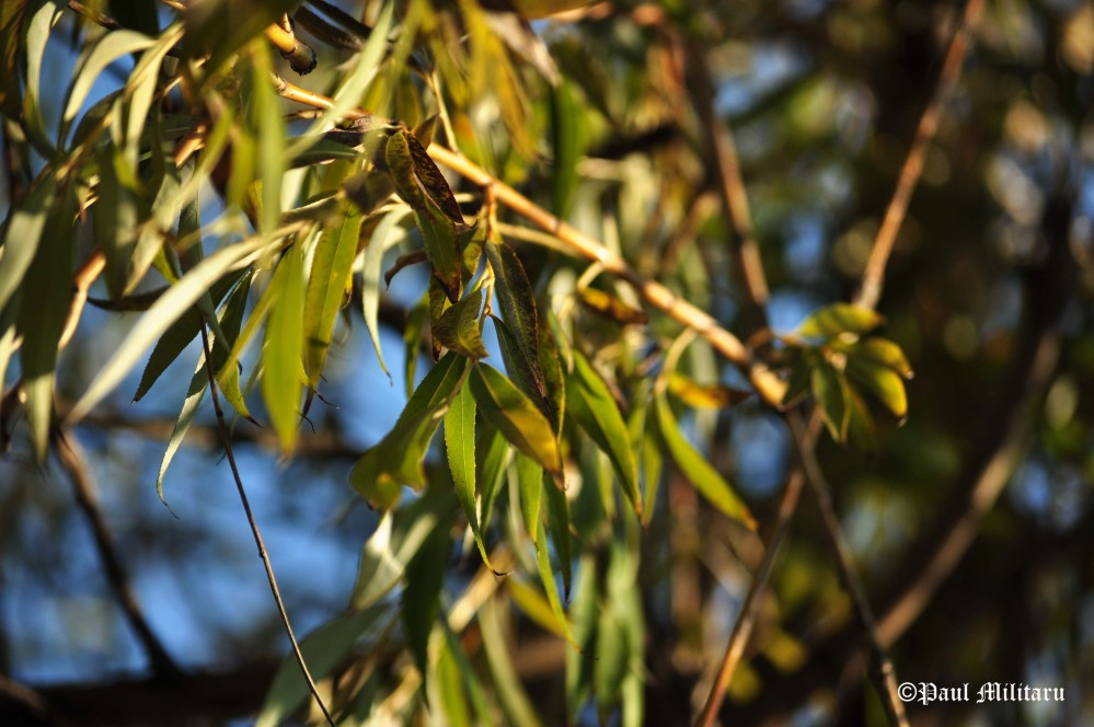 weeping-willow-branches