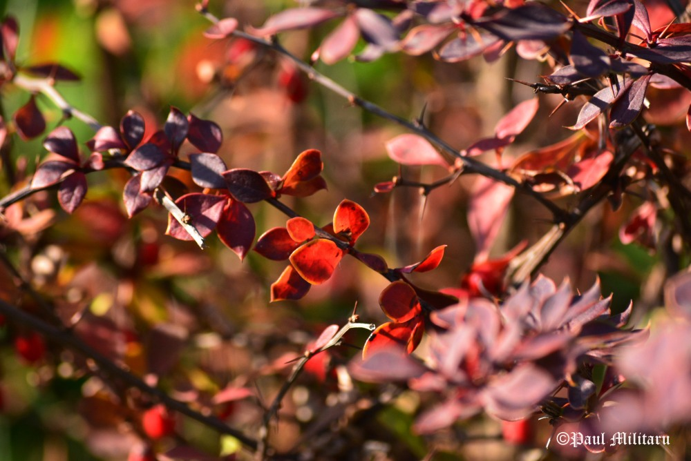 simply-red-in-fall