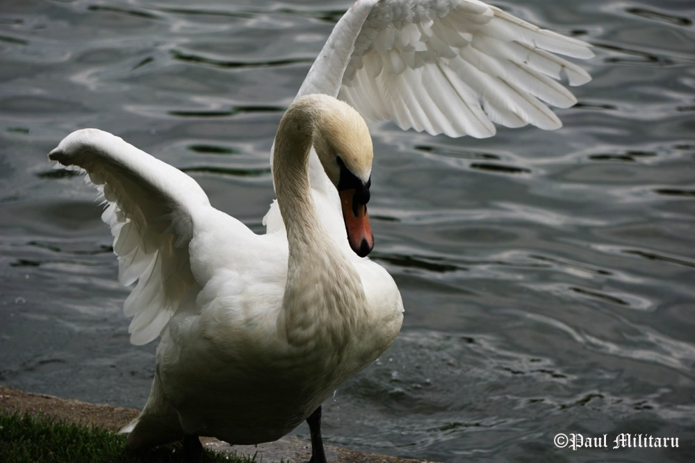 swan-with-only-one-wing