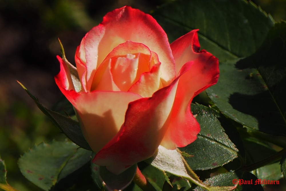 waltz-with-rose