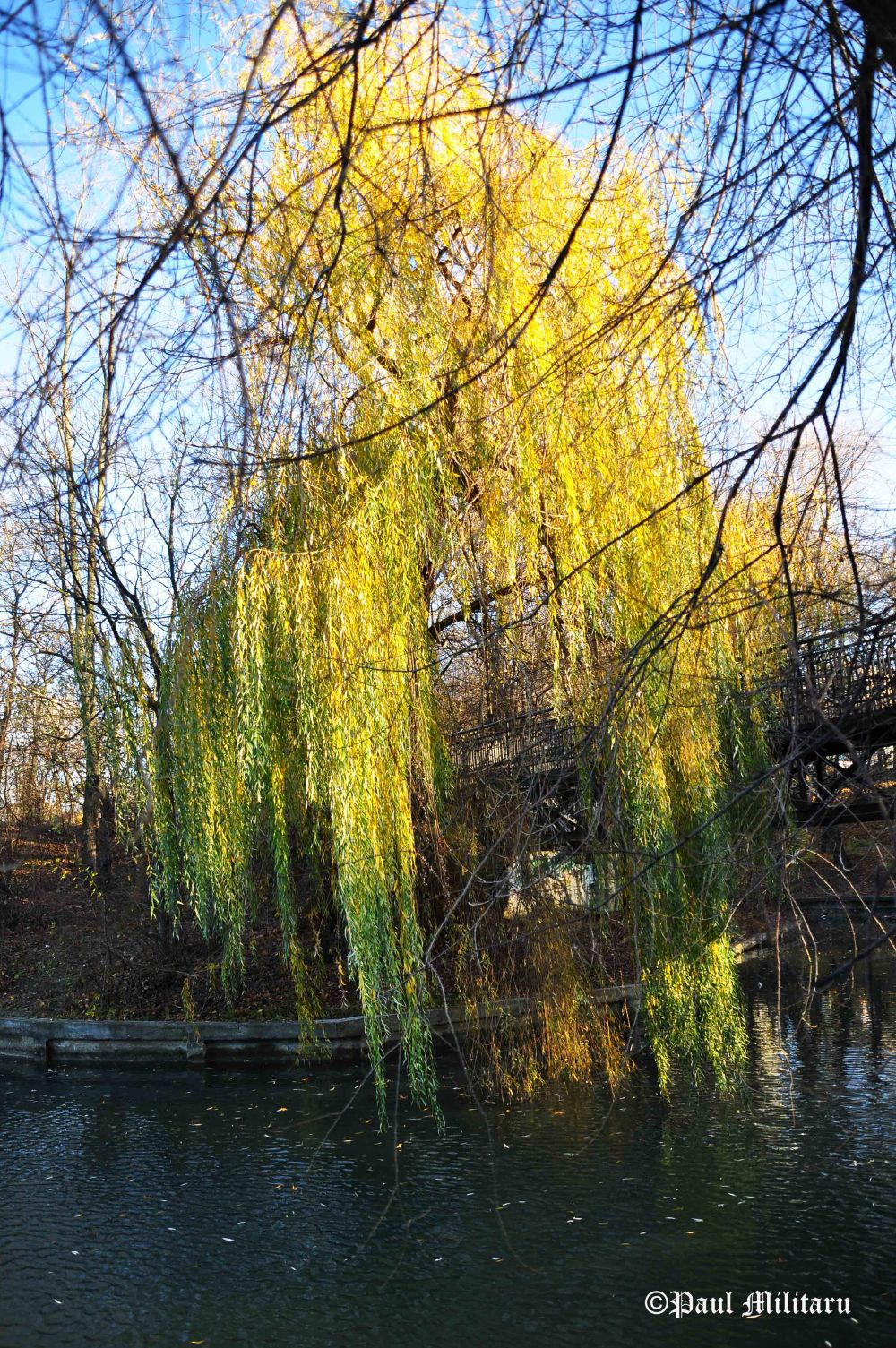 weeping-willow-waiting-the-winter
