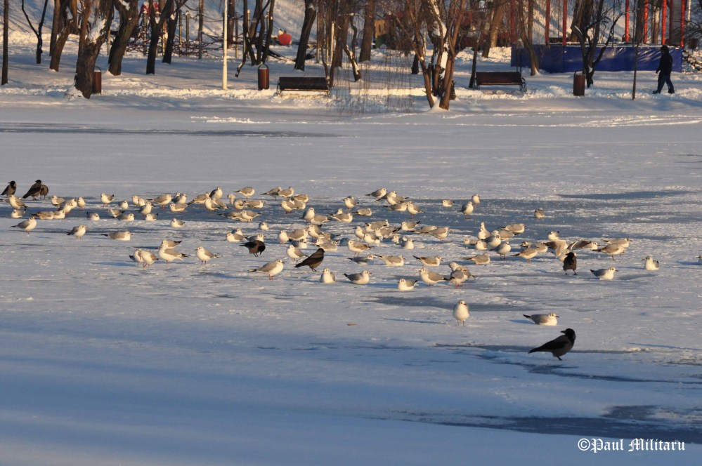 birds-on-ice