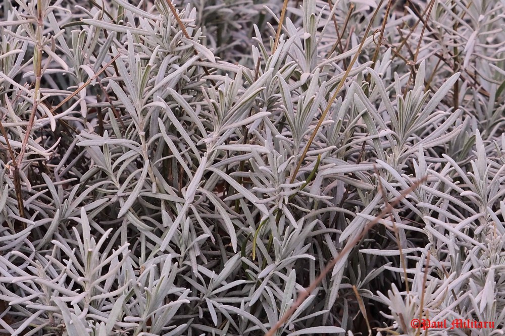 lavender-leaves-in-winter-1