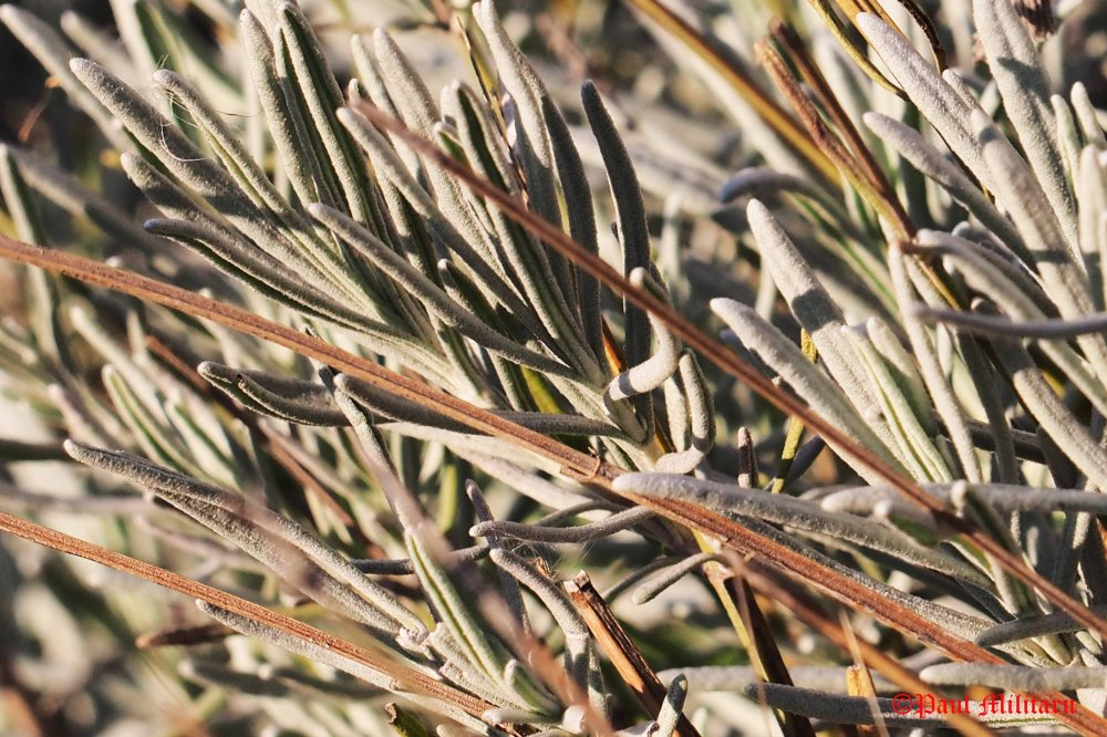 lavender-leaves-in-winter-2