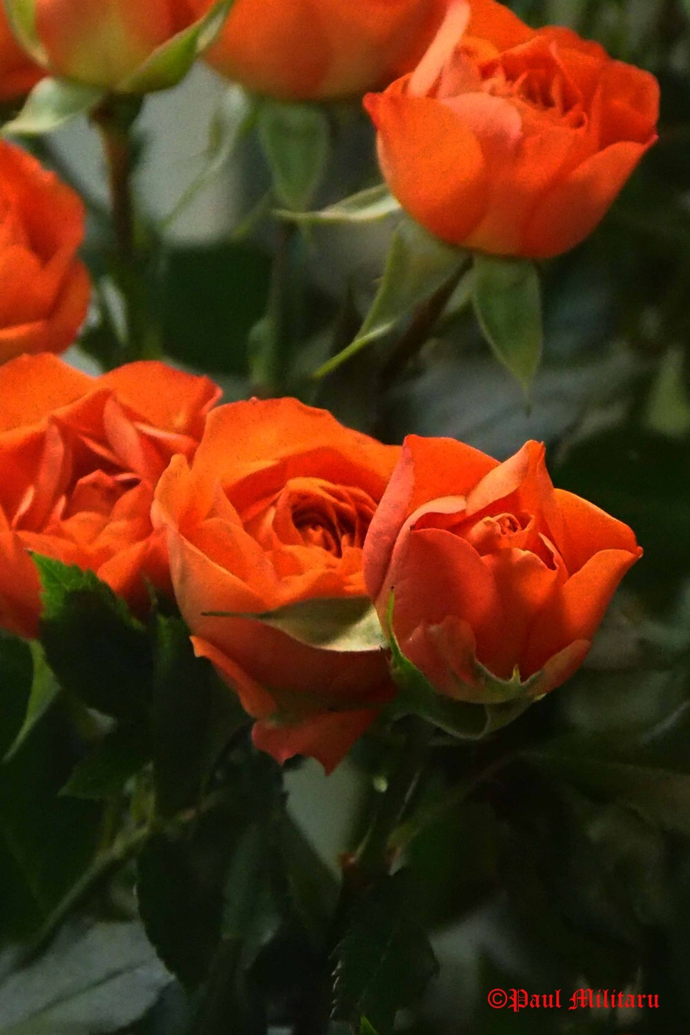 orange-roses-in-a-flower-shop