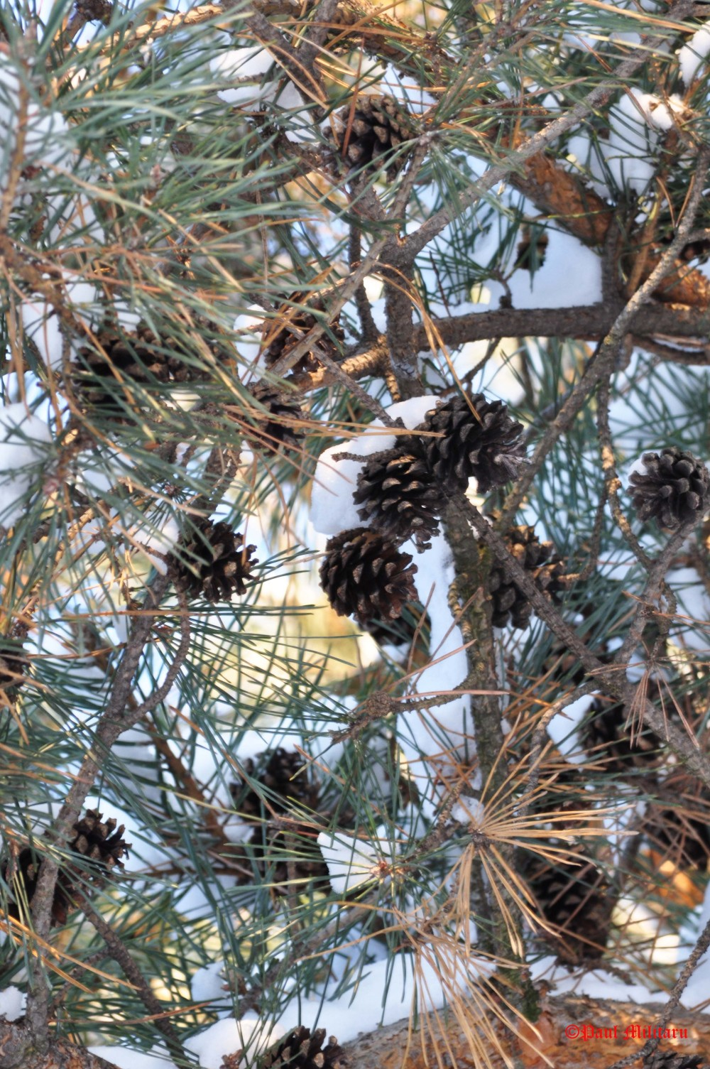pinecone-in-winter
