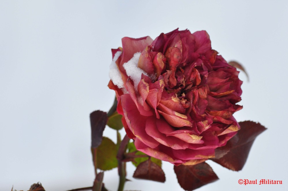 red-rose-on-a-white-background
