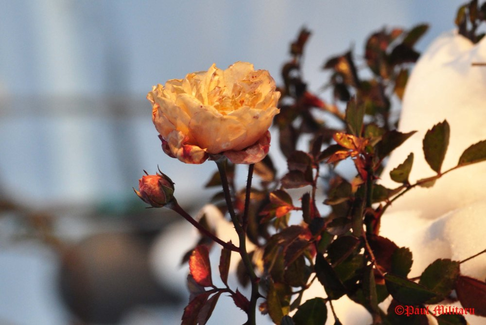yellow-rose-in-winter