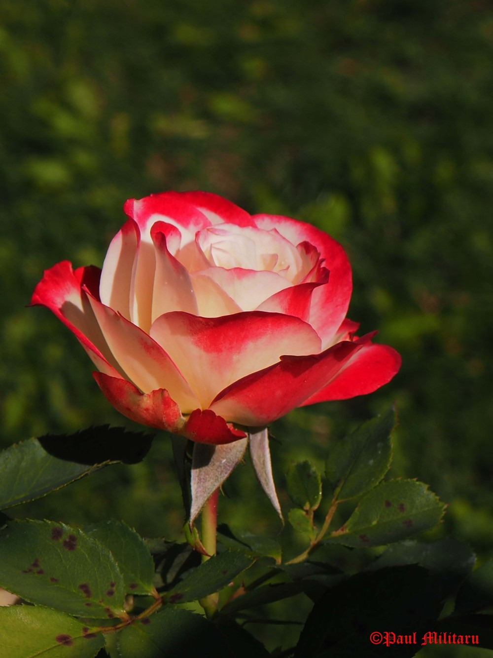 beautiful-white-red-rose
