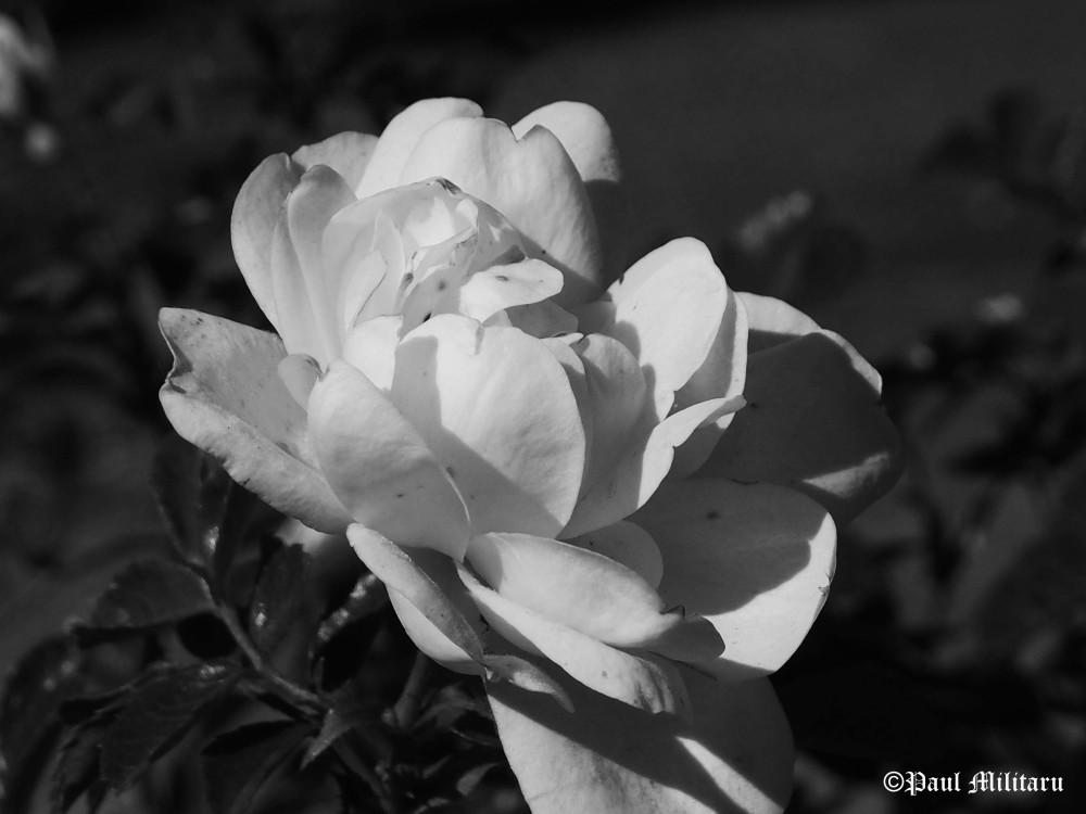 black-white-rose