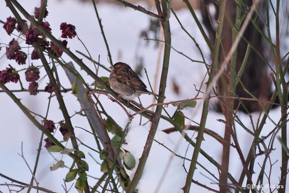 sparrow-in-winter