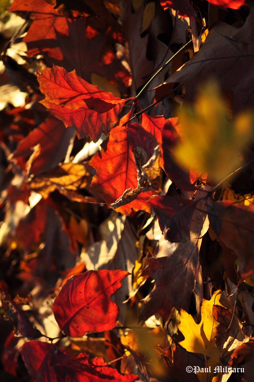 red-leaves-in-the-sun