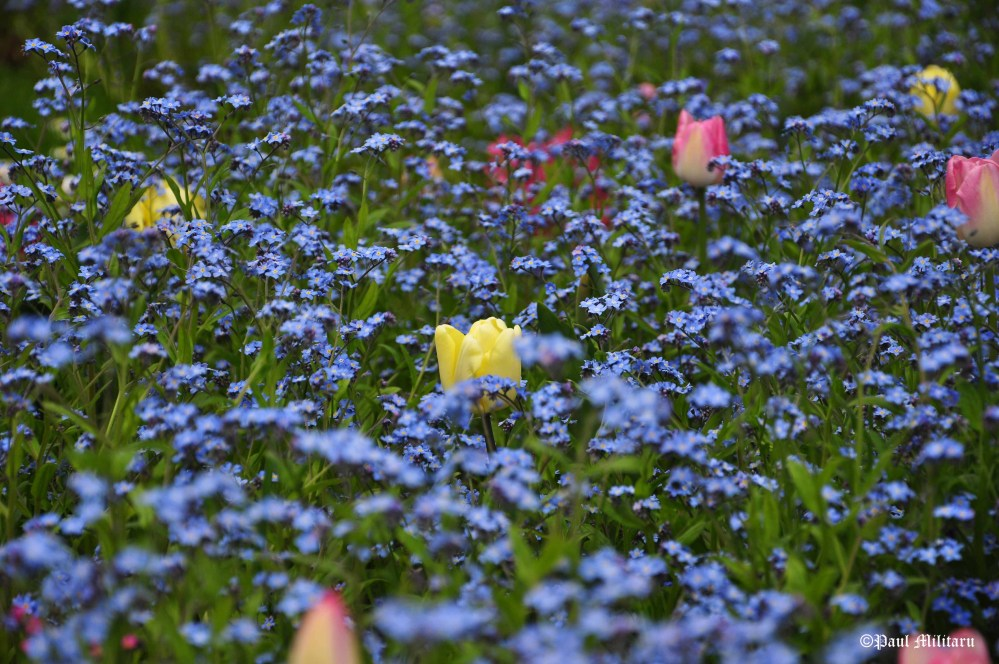 tulips-and-forget-me-not