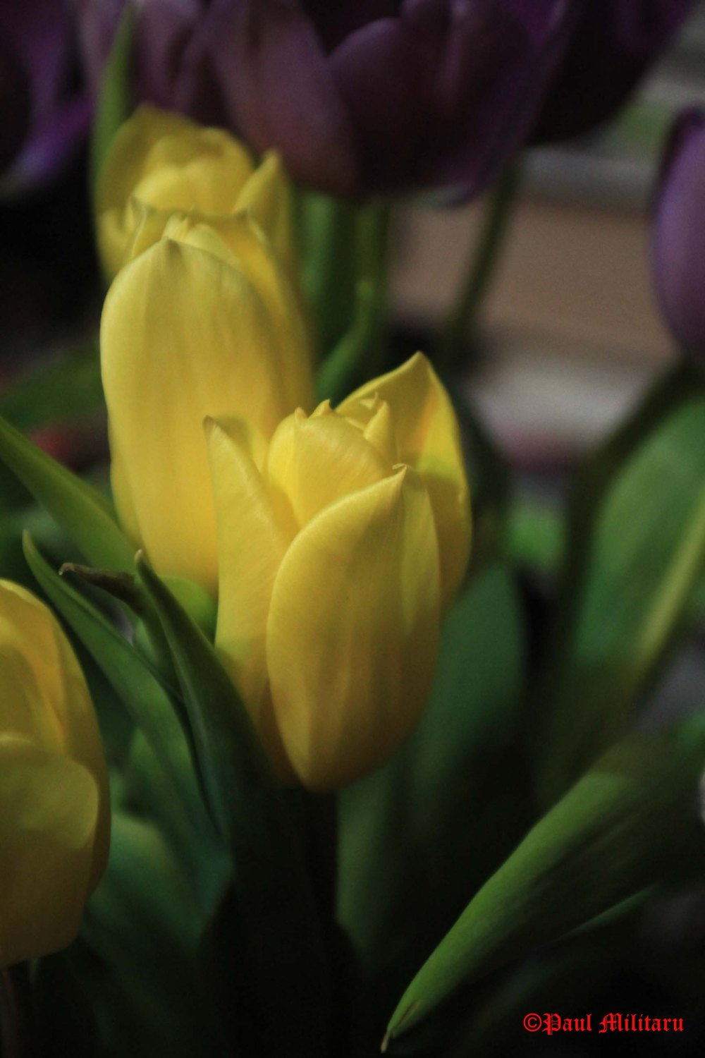 1- yellow tulips