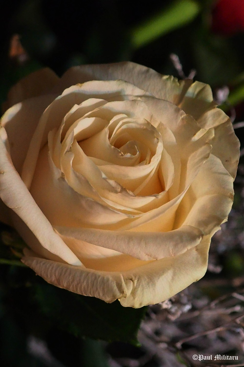 cream-colored-rose