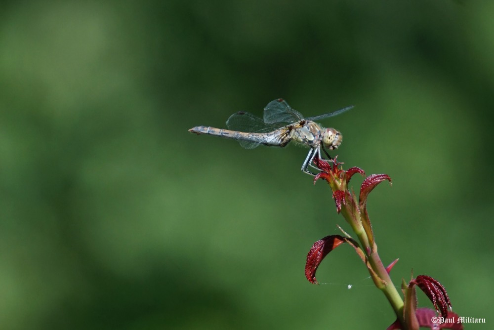 dragon-fly on the stem of the rose