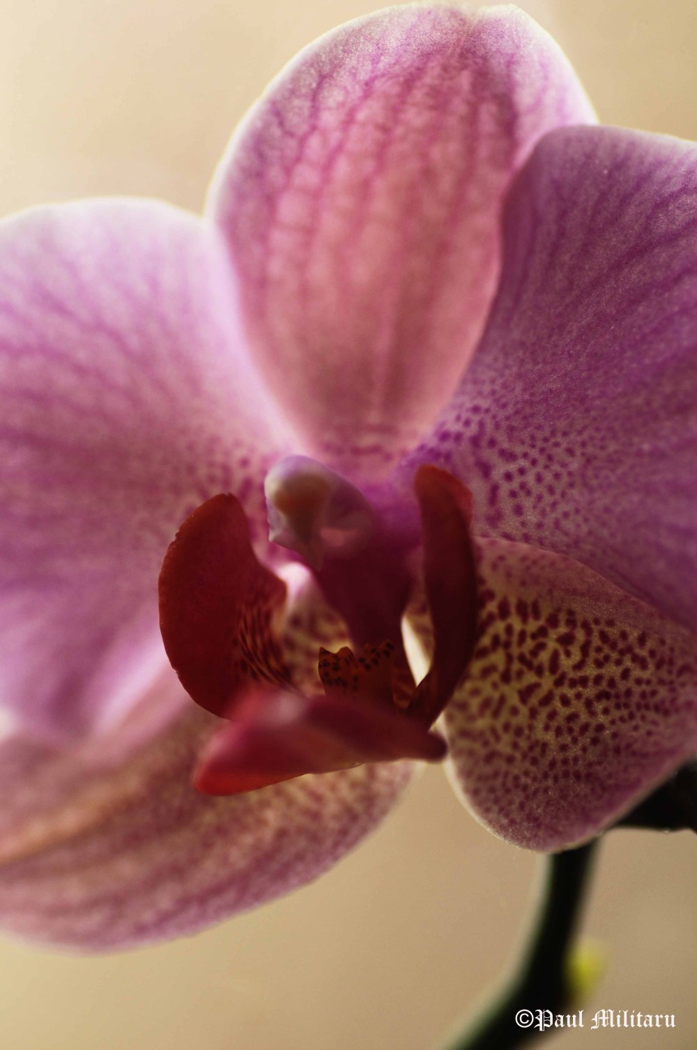 orchid - exotic delicacy of a flower