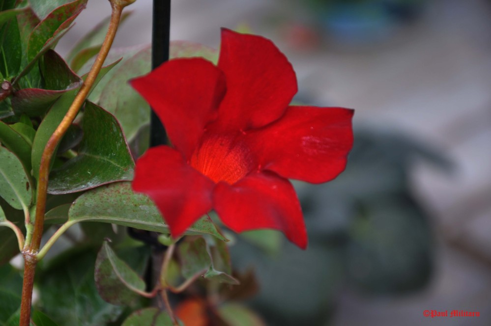 ornamental red flower