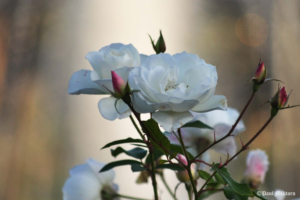 purity of white roses