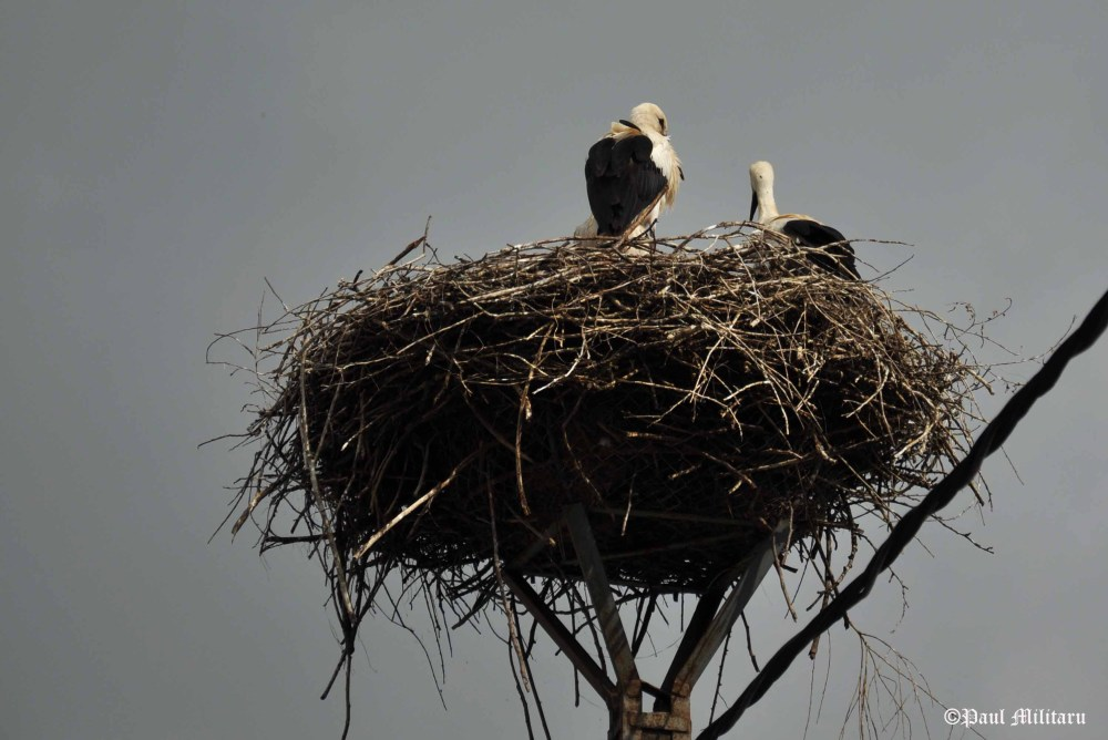 storks awaiting chicks
