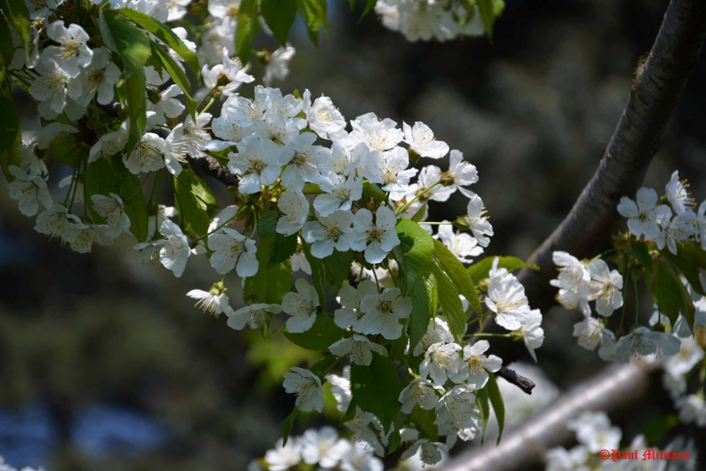 tree-white-flowers
