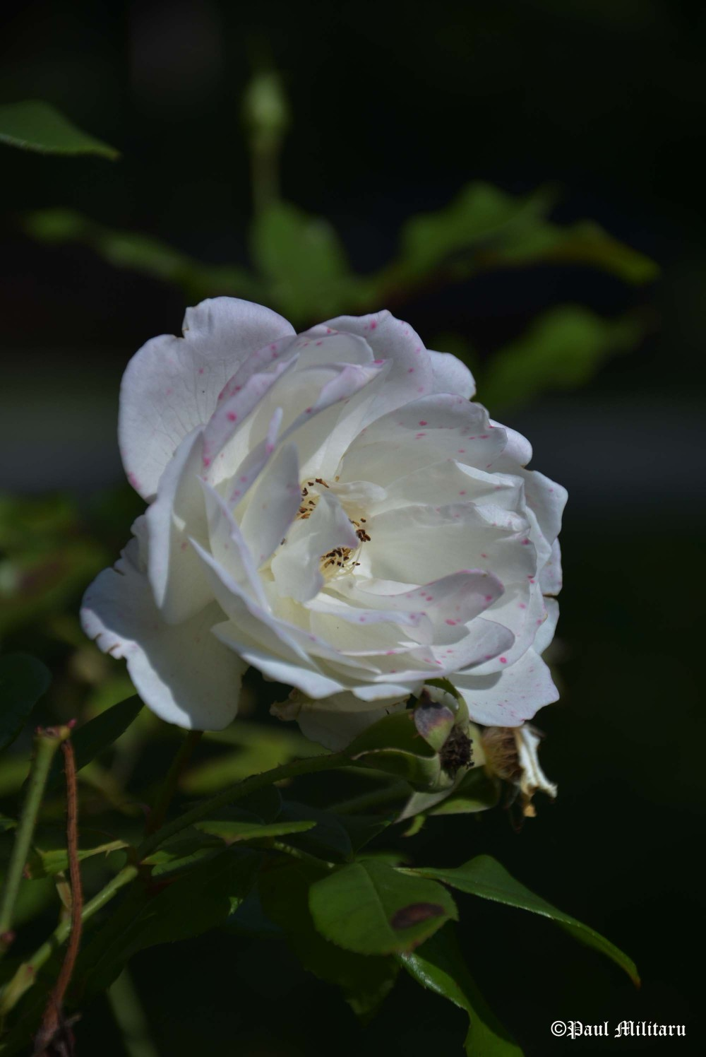 white freckled rose