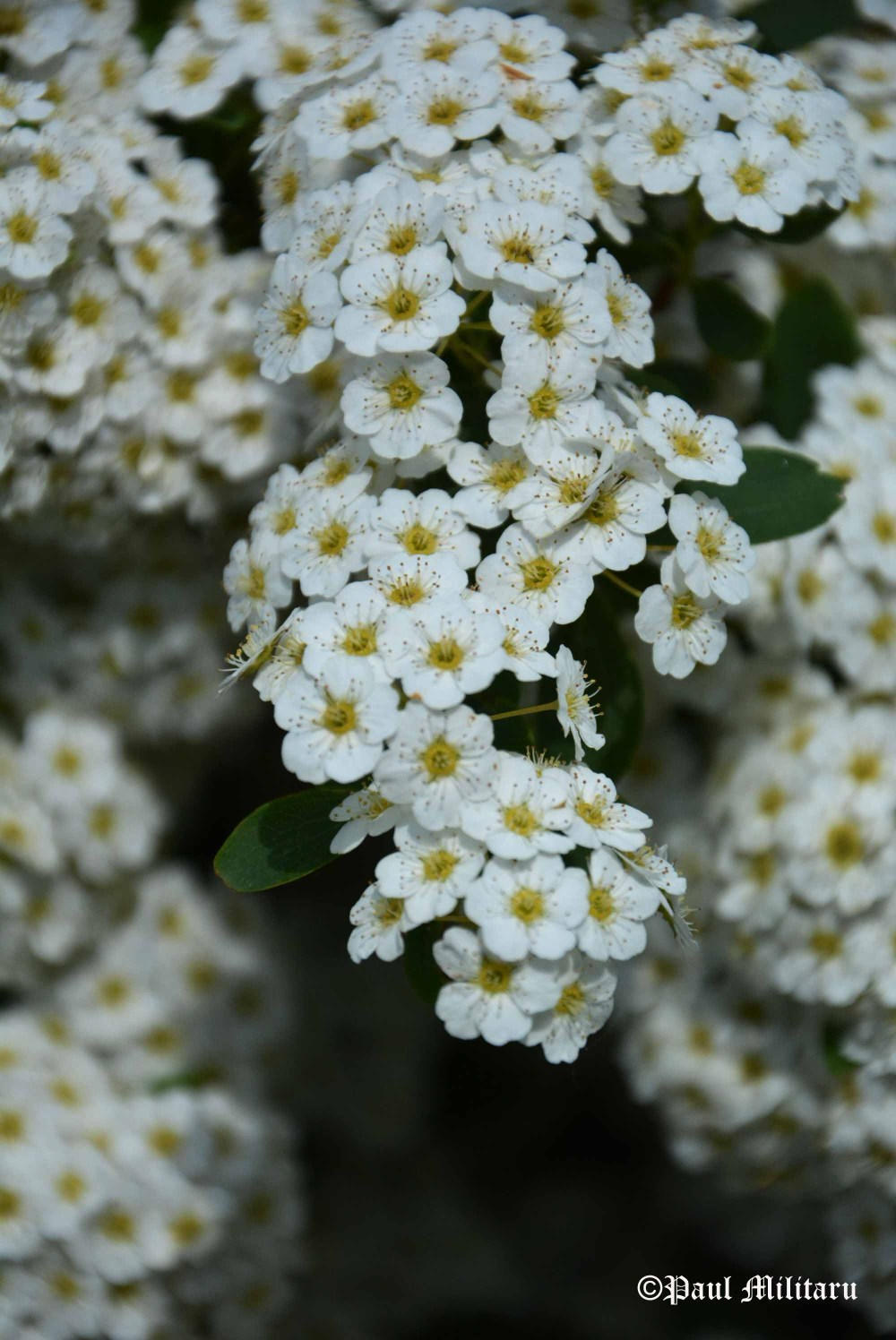 white ornamental tree flowers