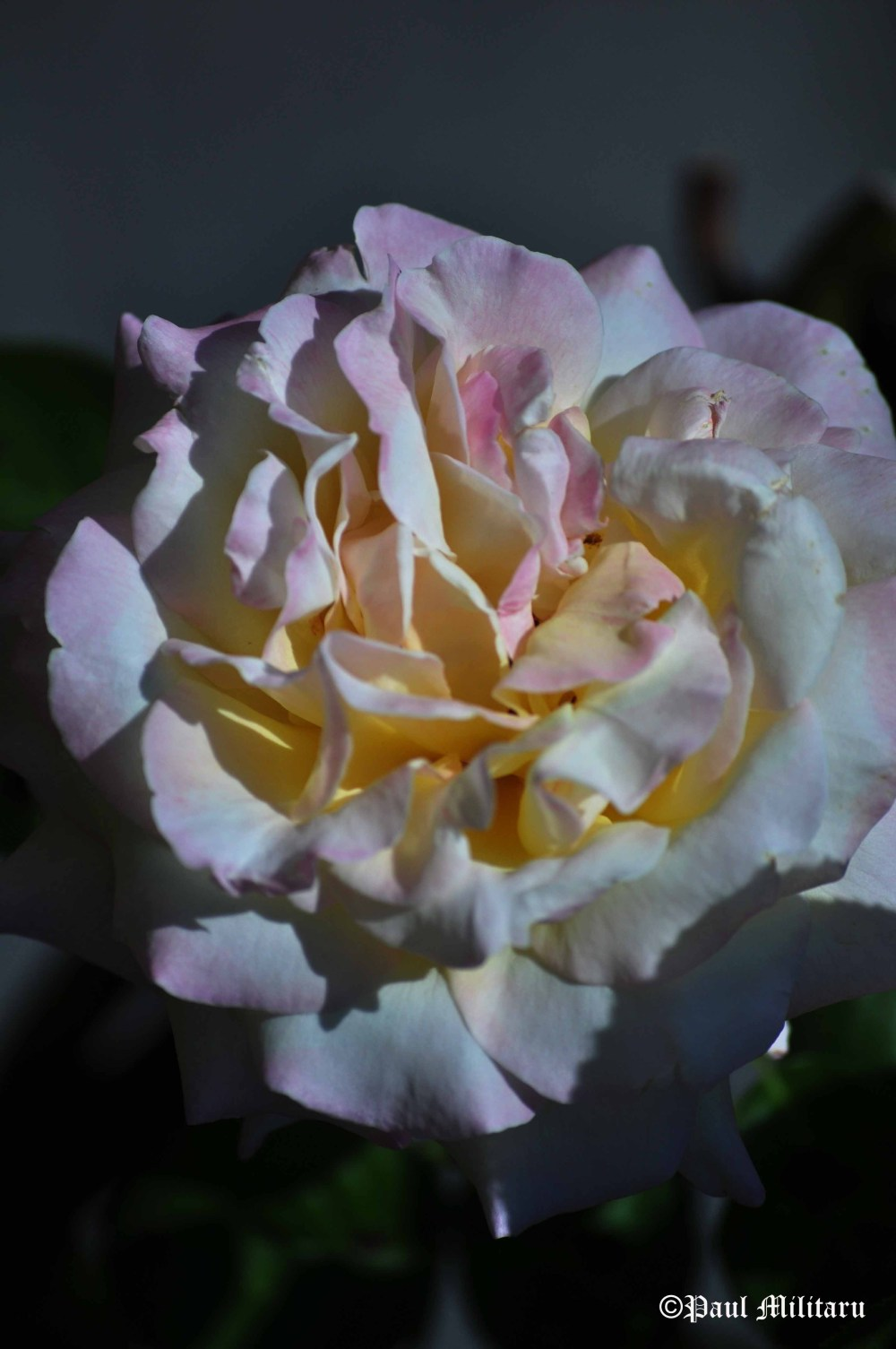 white rose with pink intarsia