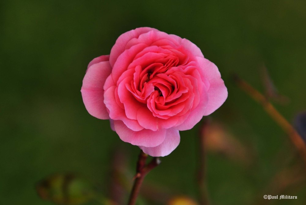...and why not a pink rose