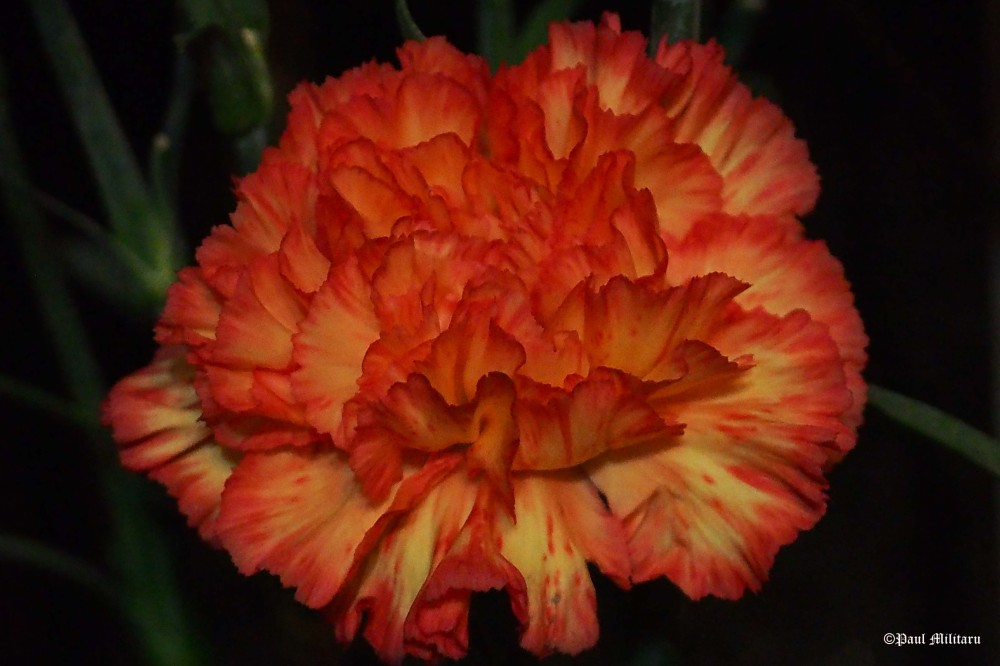 carnation in low light