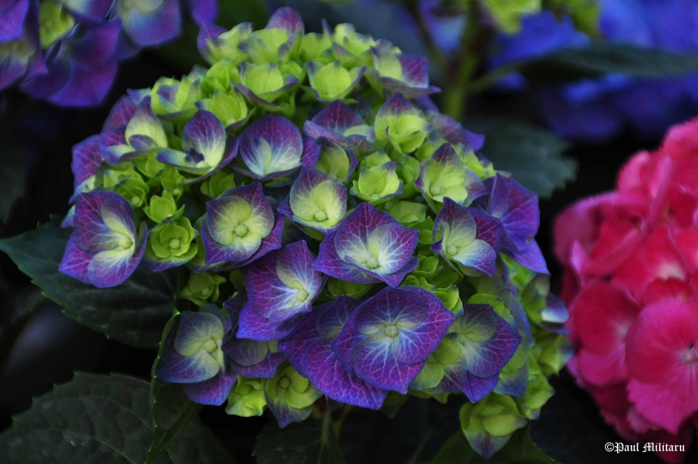 green and purple hydrangea