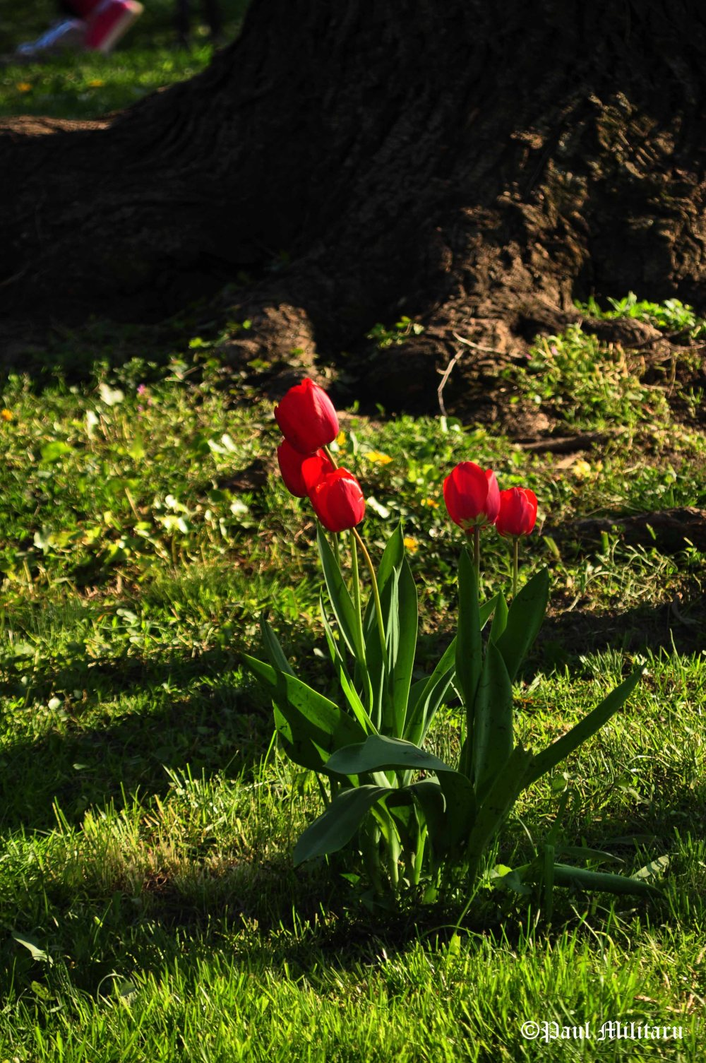 red tulips in a soft light