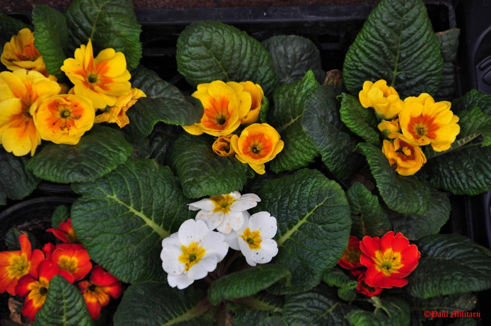 yellow, white and red (primrose)