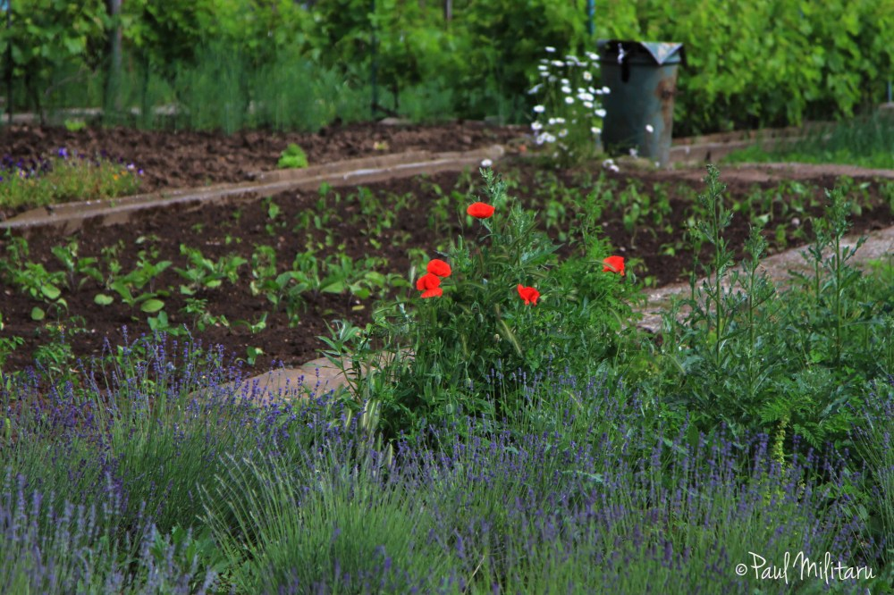 a few poppies and lavender in the garden