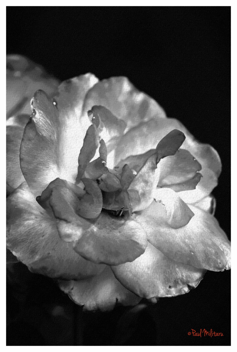 art - sketch of a rose in black and white