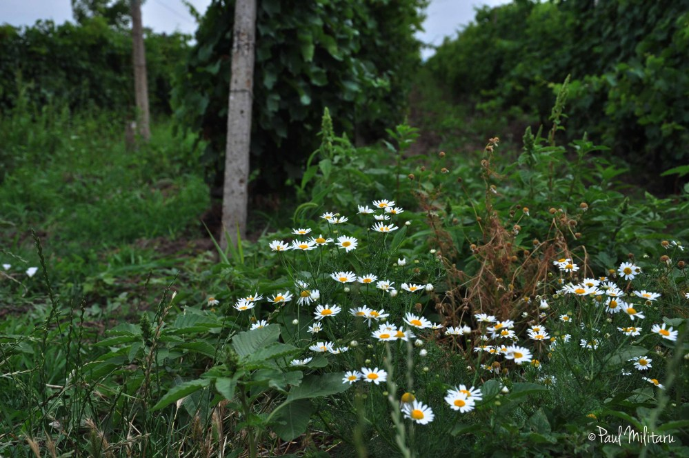 chamomile and wild plants