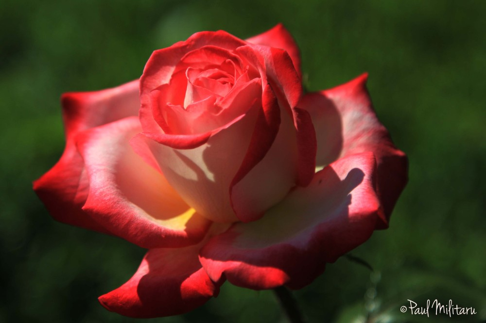 eternal beauty - rose 2