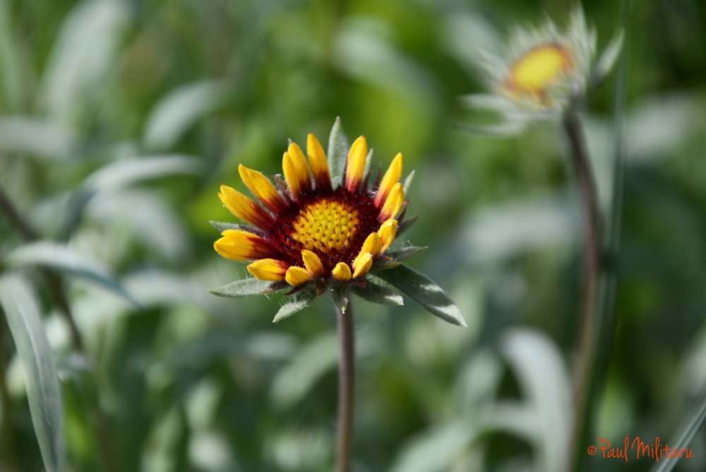little gazania