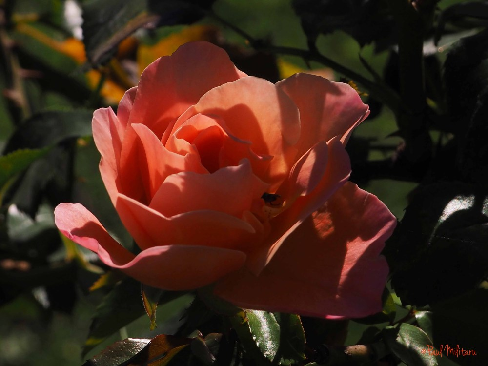 orange rose in light and shadow