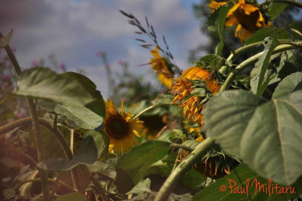 ripen sunflower