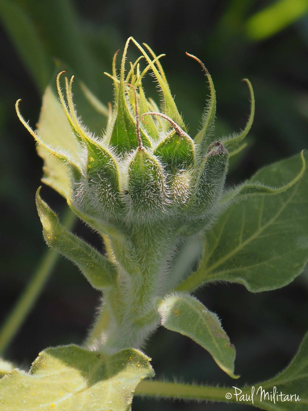 sunflower bud 1